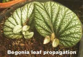 Vegetative Propagation By Roots - plant propagation methods gardentia