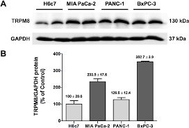 cells free full text aberrantly over expressed trpm8 channels