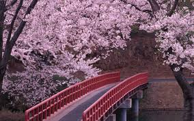 japanese cherry blossom desktop background hd 2560x1600 deskbg com