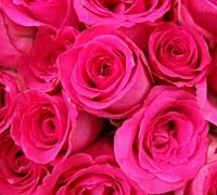 hot pink roses hot pink roses for valentines day save up to 70 on valentines