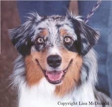australian shepherd vs husky aussie eye color and eyeshine