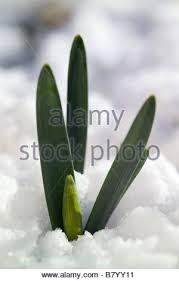 Foliage Flower - narcissus daffodil new foliage u0026 flower buds pushing through