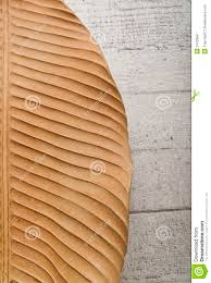 Floor Dry by Half Dry Banana Leaf Isolated On Wooden Floor Royalty Free Stock