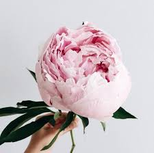 pianese flowers photo collection peony flower the most