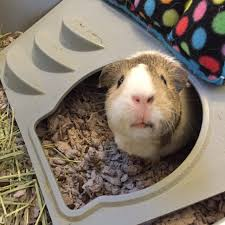 Savvy Home Blog by Cavy Savvy A Guinea Pig Blog Adjusting To A New Home As A Guinea Pig