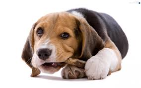 siberian husky dog women hat dogs wallpapers 2048x1365