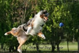 australian shepherd jumping view topic your bark makes me love you sheepdog rp romance