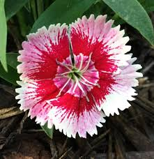dianthus plant care and collection of varieties garden org