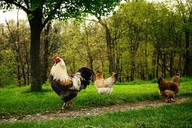 Can I Raise Chickens In My Backyard 5 Rules For Keeping Multiple Roosters My Pet Chicken Blog