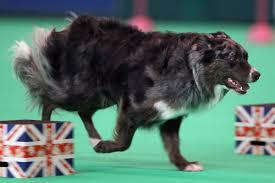 afghan hound vs wolfhound the smartest dog breeds business insider