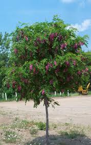 Family Garden Chinese Columbus Ohio 9 Best Robinia Images On Pinterest Garden Trees Front Gardens
