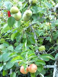bart the pear tree that grew an apple