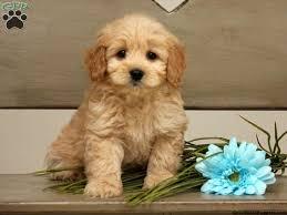 designer kleidung sale 172 best loving designer puppies for sale images on