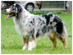australian shepherd long tail beautiful australian shepard with the long tail i want a dog like