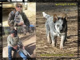 australian shepherd 7 mesi 44 best australian cattle dog acd vanilegio family images on