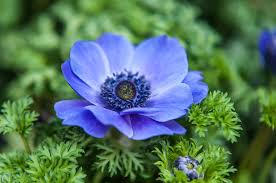 anemone flowers blue anemone flowers of photograph by rainbow