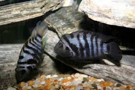 freshwater fish peaceful cichlids and micro freshwater fish u2013 fintastic