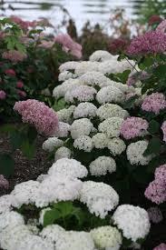 White Hydrangeas Invincibelle Wee White Smooth Hydrangea Hydrangea Arborescens