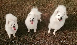 american eskimo dog brown toy miniature american eskimo puppies dogs pictures information