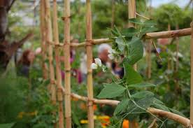 Bamboo Cucumber Trellis Diy Folding Bamboo Fence The Ecology Center