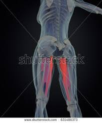 Female Muscles Anatomy Adductor Muscle Stock Images Royalty Free Images U0026 Vectors