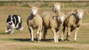 3 legged australian shepherd farm dogs dirt simple