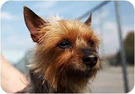 australian shepherd yorkie maude adopted dog port hope on australian terrier yorkie