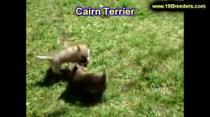 halloween city idaho falls idaho cairn terrier puppies for sale in boise city idaho id