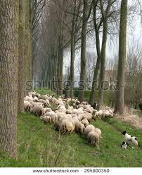 belgian shepherd herding herding dog stock images royalty free images u0026 vectors shutterstock