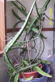 cactus and tender succulents forum dragon fruit garden org