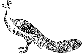 trend peacock coloring pages kids design galle 7378 unknown