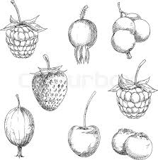 berry fruits sketches of sweet strawberry and raspberry currant
