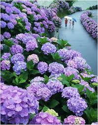 purple hydrangea top 20 flowers to keep your garden blooming into fall miyazaki
