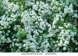 White Flowering Shrub - spiraea alpine spring flower white flowering stock photo 423412321