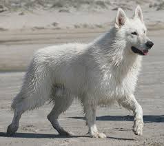 belgian sheepdog vs german shepherd berger blanc suisse u0026 white shepherd dogs dances with wolves ranch