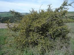frangula californica wikipedia rhamnus crocea wildflowers in santa barbara