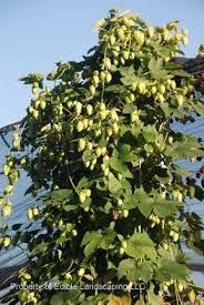 18 best and brewables images on hops plant