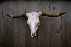 cow cattle skull symbolic meaning whispers channels prophecies