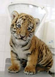 siberian tiger facts cubs habitat diet adaptations pictures