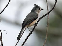 back yard birds of western north carolina owlcation