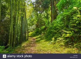 beautiful road lane path way through summer bamboo forest woods