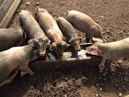 Backyard Pig Leptospirosis Working With Pigs U2013 Safer Farms