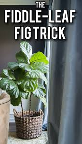 the simple way to keep your fiddle leaf fig healthy and growing