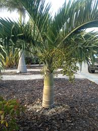 florida native plants list buccaneer palm pseudophoenix sargentii a south florida native