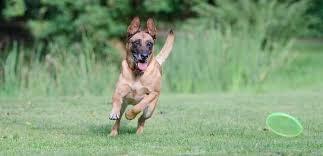 belgian malinois us secret service belgian malinois dog complete breed profile