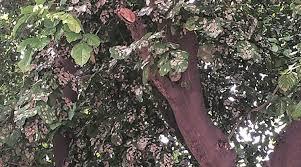 karanja a tree that produces biofuel crop the indian express