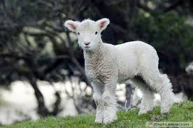 cute sheep free download clip art free clip art on clipart