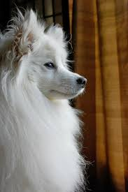 american eskimo dog breeders new england top 5 most affectionate dog breeds the pet u0027s planet id