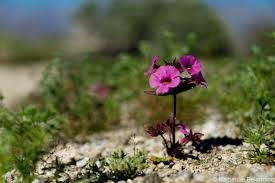 hurry to see anza borrego wildflowers before they u0027re gone