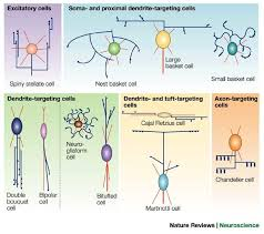 chandelier cells interneurons of the neocortical inhibitory system nature reviews